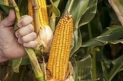 玉米品种介绍,目前大面积使用的玉米品种有哪些呢?有哪些品种比较好呢?