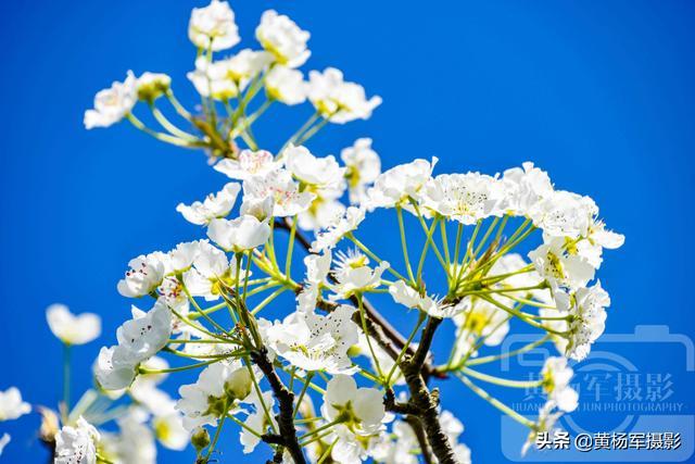 梨花图片,蓝色天空下娇美盛开的梨花,雪白的花朵娇艳动人的美