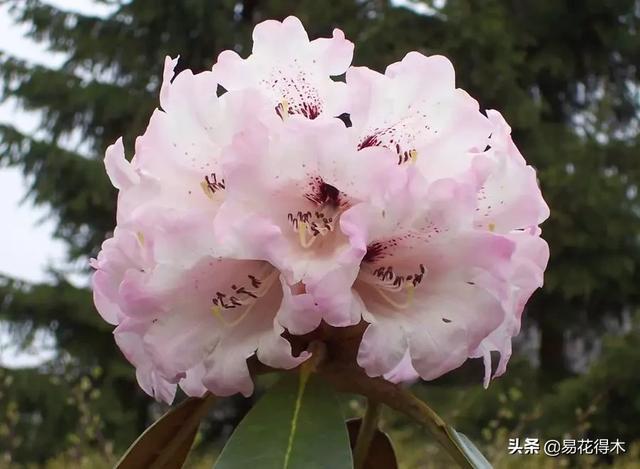 稀有品种,国家Ⅱ级珍稀濒危物种|花色妖娆的大王杜鹃
