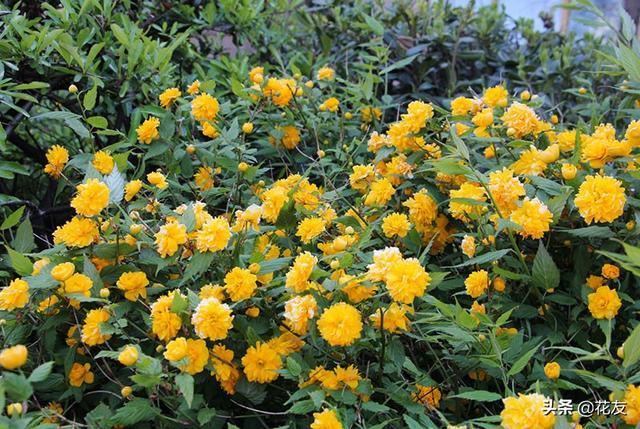 棣怎么读,棣棠花的日常养护、繁殖和越冬,一生黄色付西风