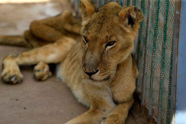 苏丹动物园难经营,员工自掏腰包,猛狮子仍瘦成皮包骨后饿死 全球新闻风头榜 第3张
