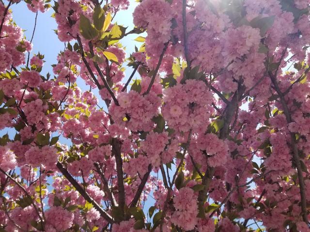 关于樱花的句子,听说,武汉大学的早樱开了,这些关于樱花的知识,你都知道吗?