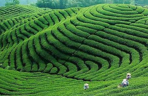 市场营销调研报告,中国茶叶市场调查报告