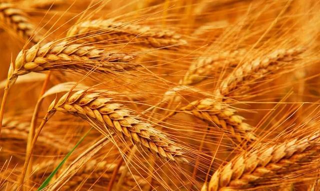 冬小麦品种,冬小麦破纪录,亩产近1吨!啥品种这么牛?