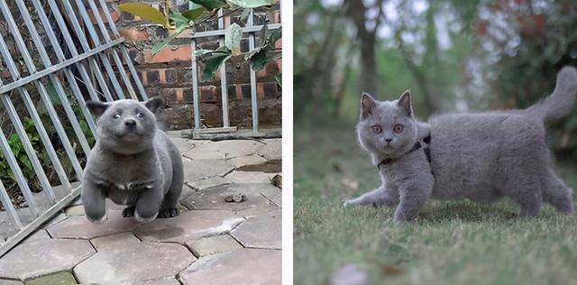 還記得這只長得像貓的狗嗎?它長大了,身世之謎也被揭開了 家有萌寵 第2张