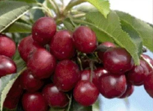 樱桃的品种,全球极具潜力的十个甜樱桃品种