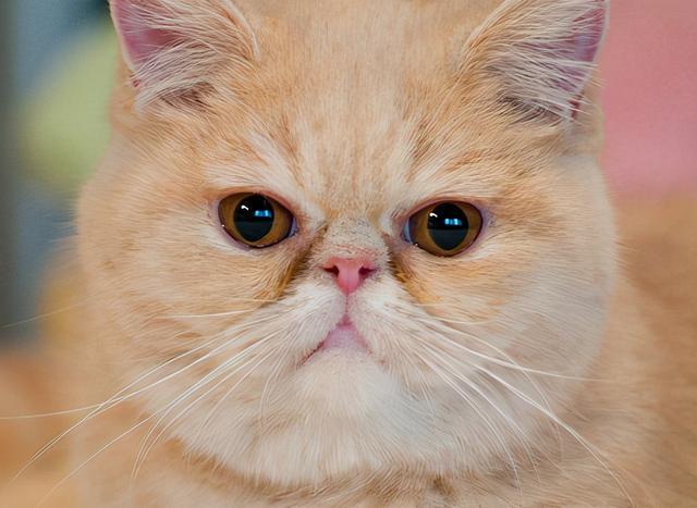 """猫的品种,这6种猫,""""白送""""给我都不要,太难养了"""