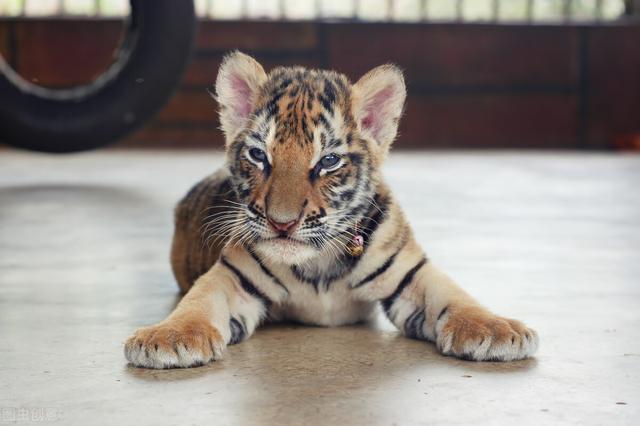 老虎图片,成年老虎能一掌拍碎车窗!如果被它舔一口,真能把人舔掉皮吗?