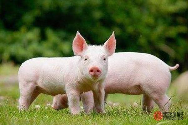 属猪怎么样,83属猪男的一生婚姻怎么样 好吗
