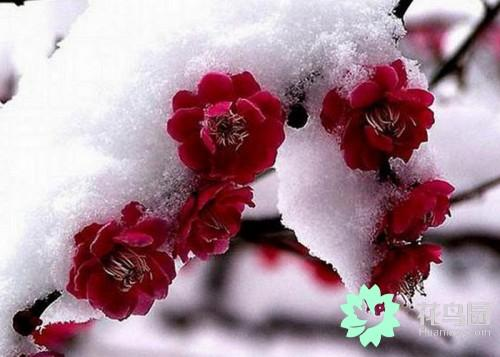 菊花 寓意,梅花的象征意义是什么