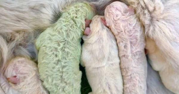 绿色婴儿,醒来惊见爱犬产「绿色小狗」! 饲主超惊喜取名「芥末」