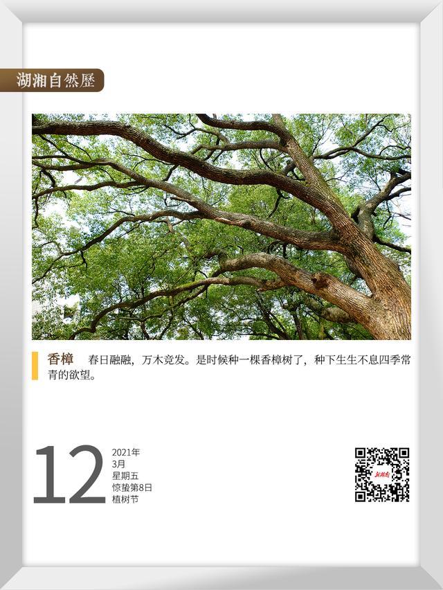 大树图片,湖湘自然历丨在春天,种一棵树①香樟