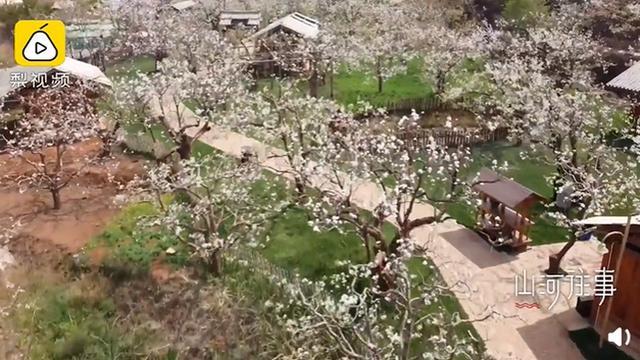 昆明花卉,昆明480岁梨树开花,现场画面曝光,网友:太漂亮了