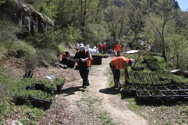树苗图片,黎巴嫩:地球日种植雪松树苗