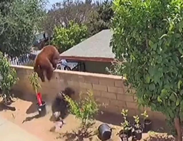 棕熊爬上围栏大战四家犬,美国女子一把将熊推下,网友:爱狗如命 全球新闻风头榜 第3张