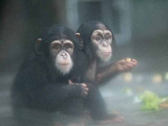 """小婴儿逃出系列2,黑猩猩三兄弟入学""""暑托班"""",呆萌耳廓狐3个月……上海动物园一波动物宝宝逗你乐 暑假去哪玩"""
