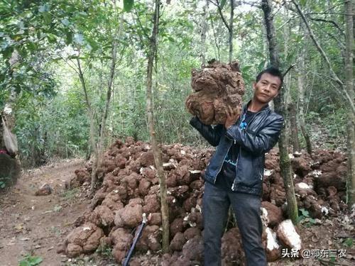 茯苓图片,茯苓是一种菌类中药材价格不错,种植前景如何,能大量发展吗?
