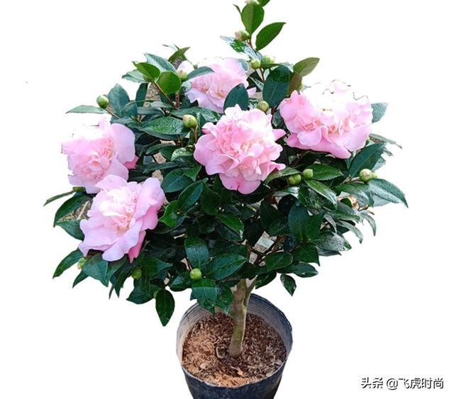 茶花品种,香味浓郁好闻的三种茶花,开花艳丽,形似牡丹,新手也能养好