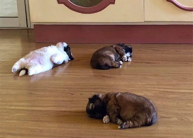 小奶狗靠睡姿走紅,一年後它長大了,更可愛了,還有了40萬粉絲 家有萌寵 第2张
