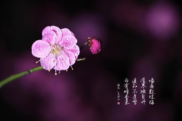 梅花 寓意,初 春 寻 梅
