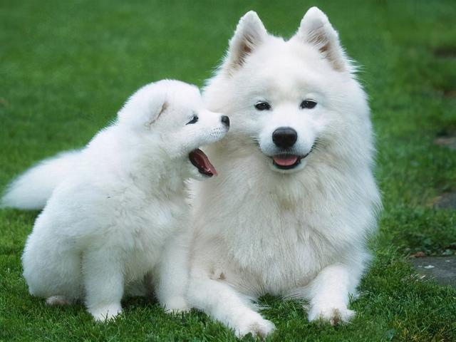 """品种狗的图片,这些狗,被称为""""狗界贵族"""",有你家的吗?"""