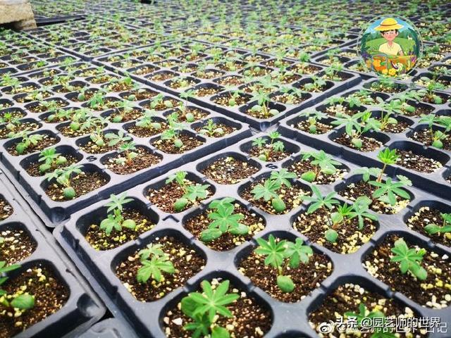 各种花卉育苗技术参考指南
