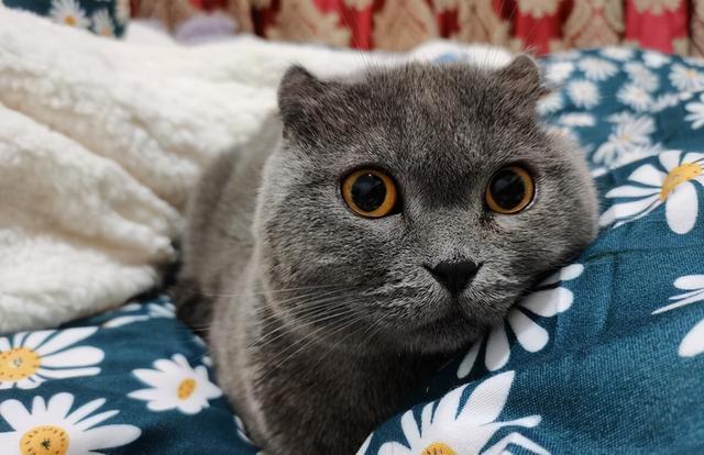垃圾堆撿到一隻藍貓,細心照顧了一個月,病剛好,前主人來要貓了 家有萌寵 第7张