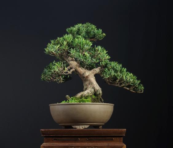 盆景 花卉,惊艳的6大盆景造型,中国植物艺术的巅峰,收藏起来