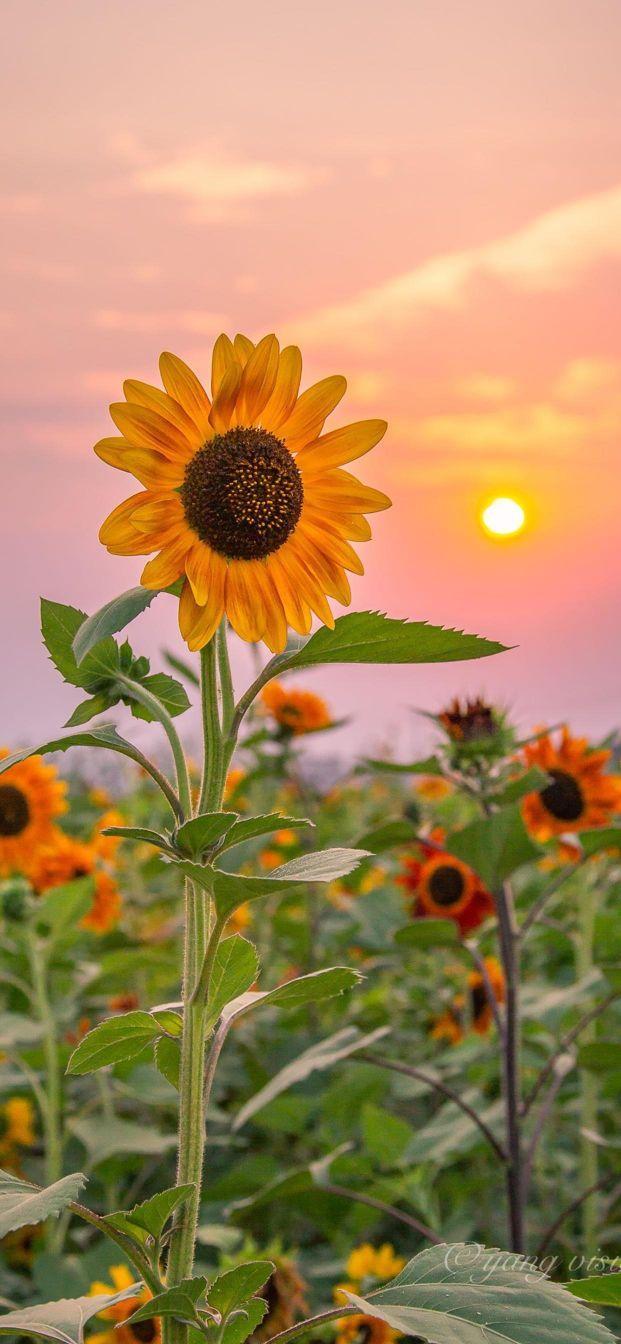 向日葵图片,超美的向日葵壁纸啊