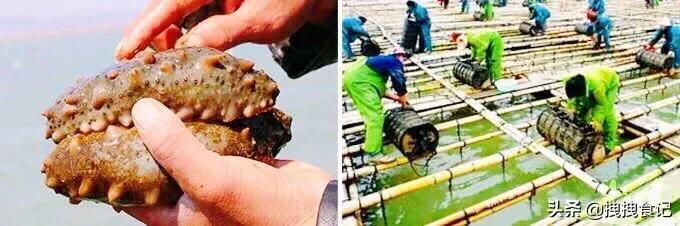 即食海参的吃法,海参怎么吃?你得先学会泡发它