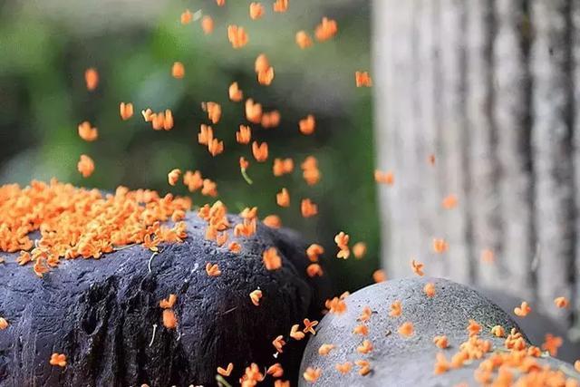 描写桂花的优美句子,桂花:何须浅碧深红色,自是花中第一流