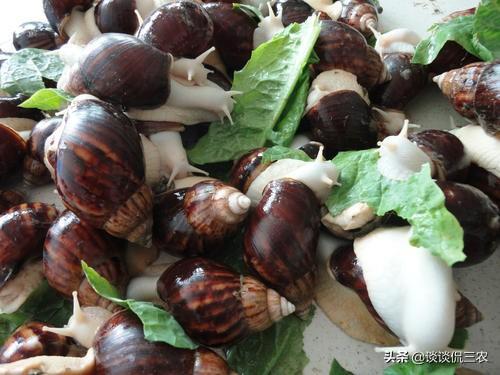蜗牛的吃法,农村这种让人讨厌的害虫,农民见了就杀,而城里人称之为高级美味