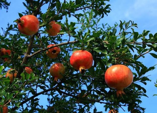 家里有小院,种上4种果树,花开清香又吉利,满枝全是大果子