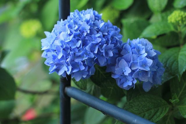 """绣球品种,有3种""""绣球花"""",从春开到夏,花期更加长,盆盆开爆花"""