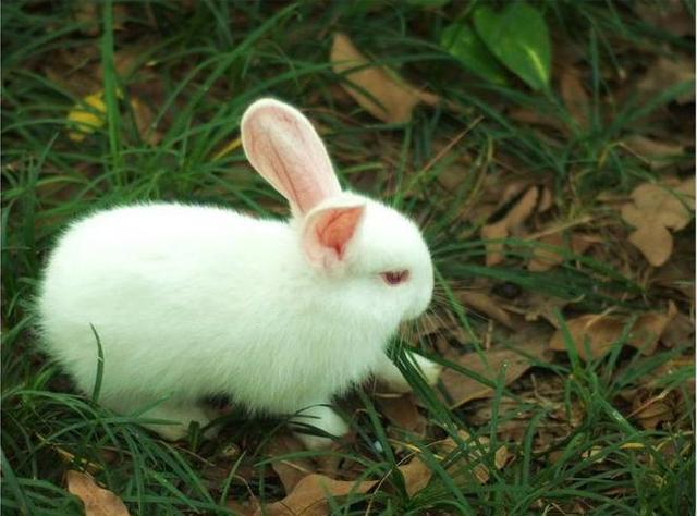 肉兔品种,兔子的种类原来这么多,快来看看这几种你见过吗?