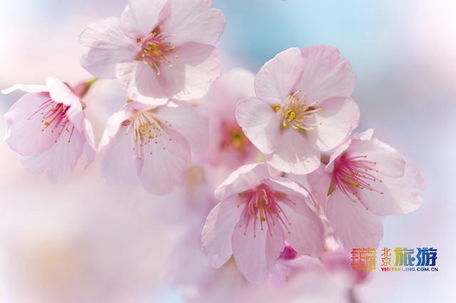 北京花卉,官宣!北京春游赏花,赏樱花除了玉渊潭、植物园,还有一个地方可能大多数人没去过!