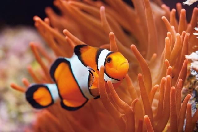 小丑鱼图片,想把Nemo带回家?小丑鱼选购指南献给你