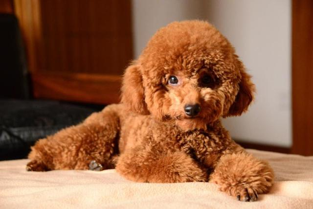 泰迪狗图片,纯种泰迪的头部、五官有这些特征,快回家看看,你家爱犬有吗?