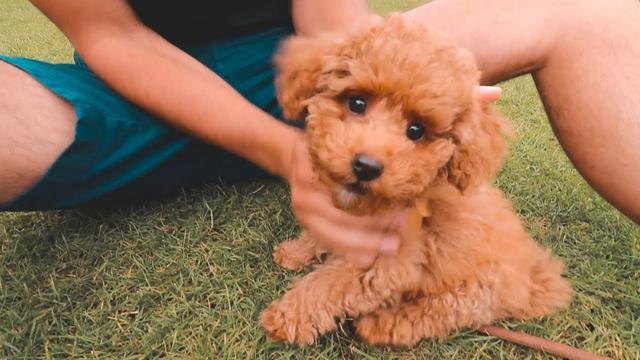 贵宾犬图片,贵宾犬的优点和缺点:体型毛色选择多,玩具贵宾犬还很容易养