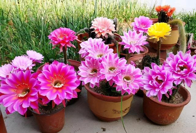 """菊花寓意,这些""""瘆人花"""",不吉利又难听,开花再漂亮,也不敢在家养"""