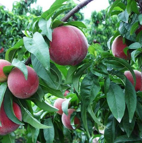 桃简介,中华血桃,现正大量上市,成熟期10-15天,营养高,却依然卖不动