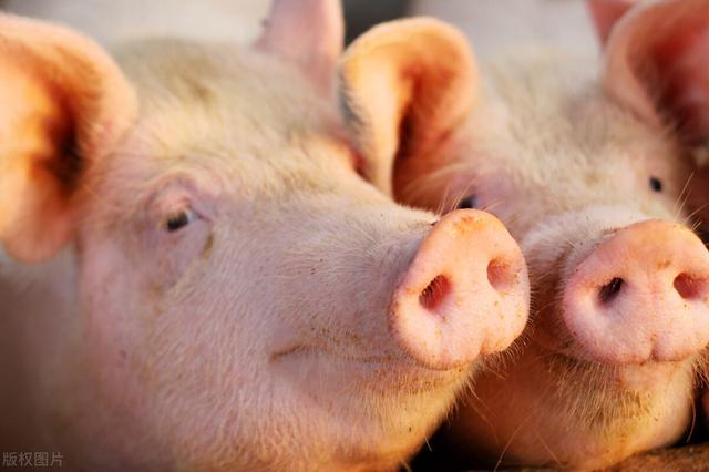 10月15~19日!全国猪价走势分析 全球新闻风头榜 第1张