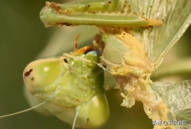 螳螂的吃法,雌螳螂交配后为何要吃掉将来孩子的父亲?雌螳螂:为了我和孩子好