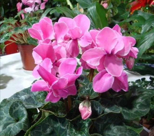 冬天开的花有哪些,冬天开的花有哪些?6种花冬天开,养在家里漂亮又喜庆
