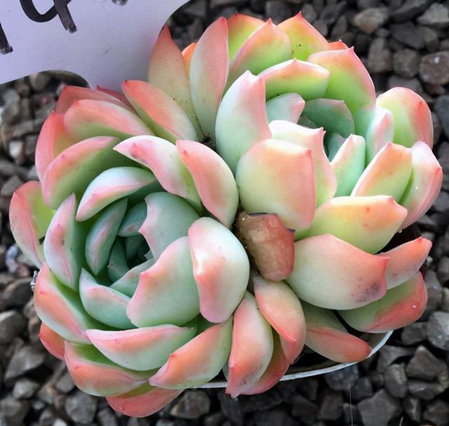 花卉网,多肉植物简介,魅惑之宵、冰雪女王、猎户座、晚霞、薄叶蓝鸟