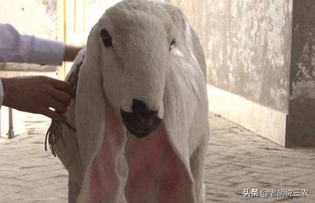 """肉羊品种,1200万元/只的天价羊究竟是什么品种?真的""""物""""有所值吗?"""
