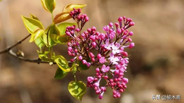 给郁结的诗,十首丁香花的优美古诗词赏析