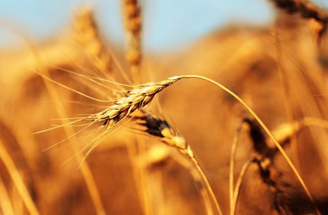 麦苗的吃法,北方地里常见小麦苗,原来有这么多作用,人吃就算了,猫也吃?