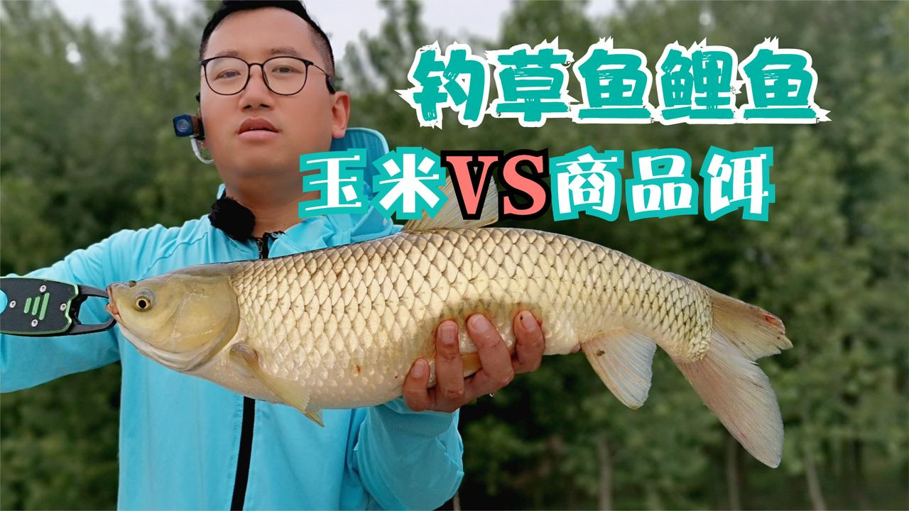 钓草鱼鲤鱼哪种饵料好用?玉米和商品饵实战对比,结果是这样的