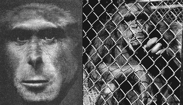 比利时女子称和黑猩猩相爱4年,遭动物园阻止,人猿能有后代吗?